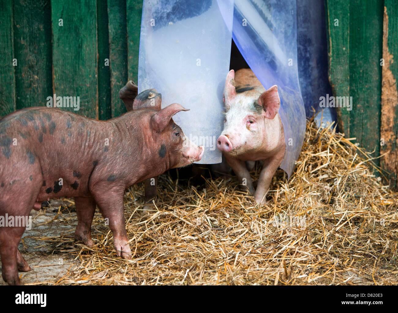 Fantastisch Wildes Schwein Anatomie Fotos - Menschliche Anatomie ...