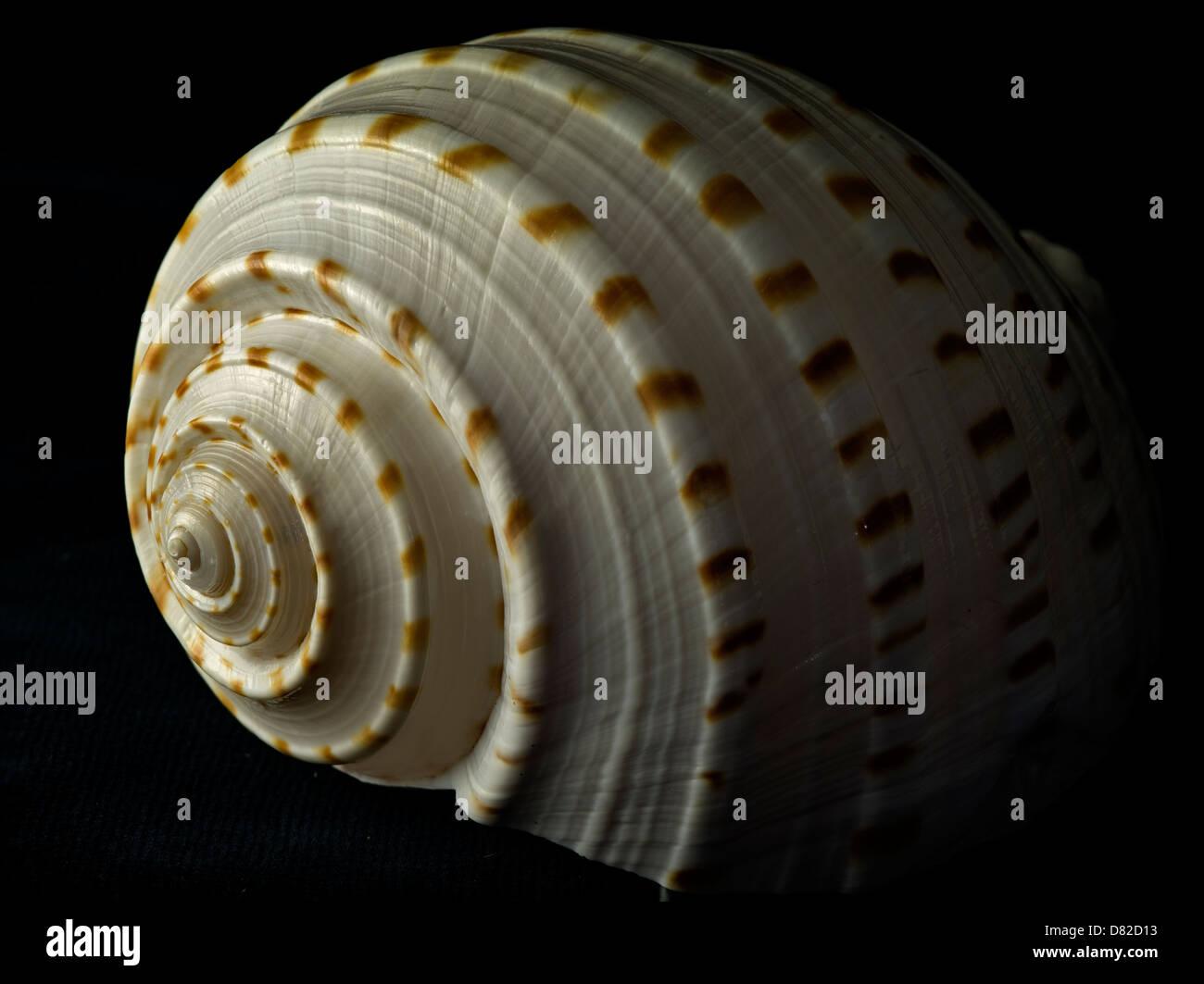 seashell stockfotos seashell bilder alamy. Black Bedroom Furniture Sets. Home Design Ideas