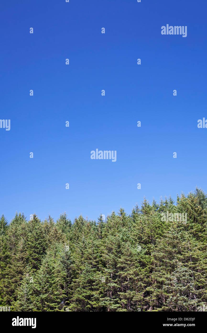 Oregon-Wald gegen strahlend blauen Himmel, Florence, Oregon Stockbild