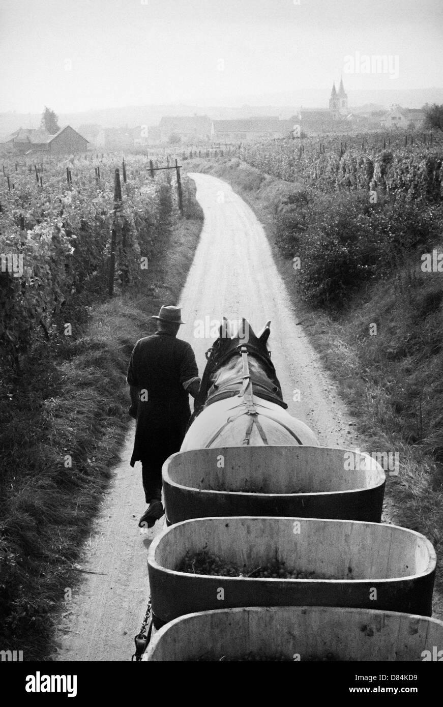 1963 Pferden gezogenen Anhänger mit Trauben Ernte Elsass Frankreich Europa Stockbild