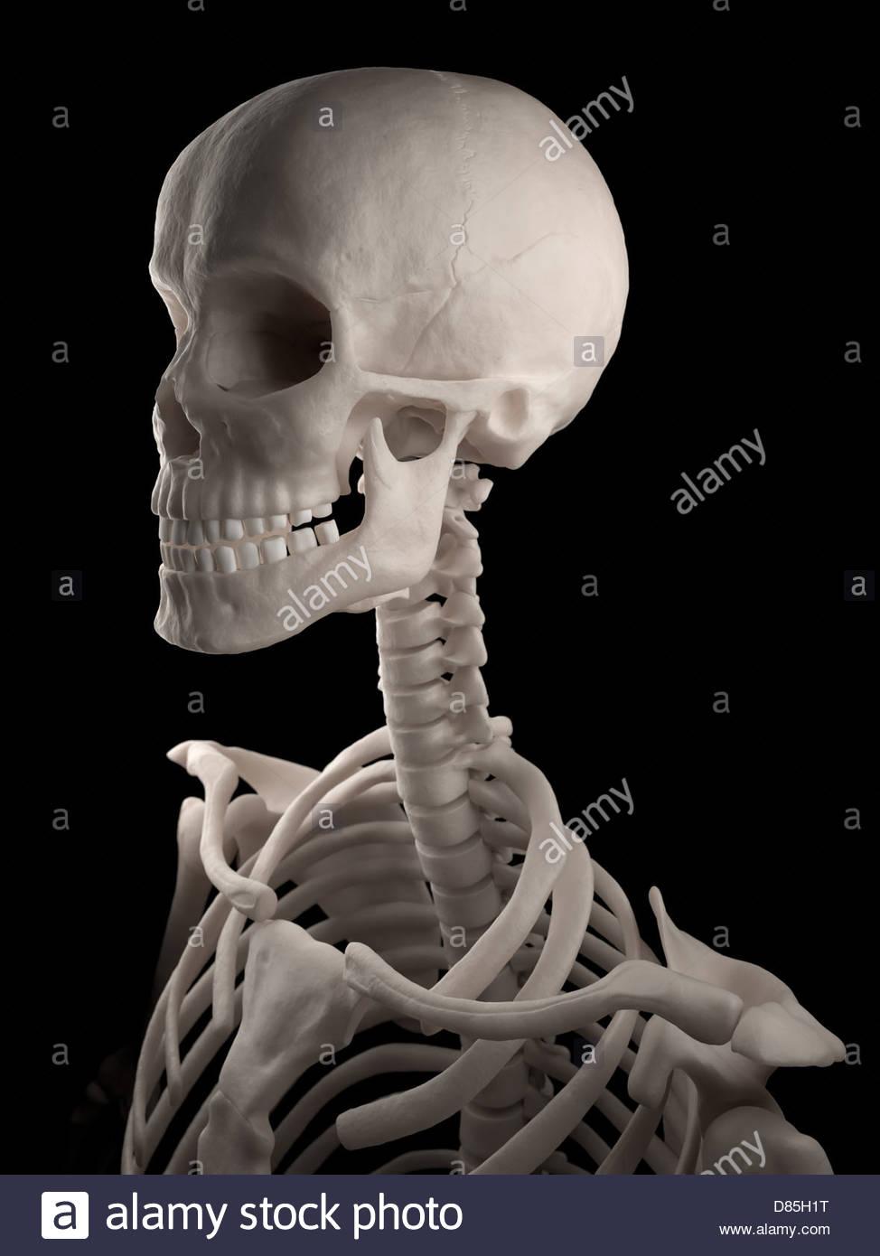 Digitale medizinische Illustration: menschliche Schädel, Hals und ...
