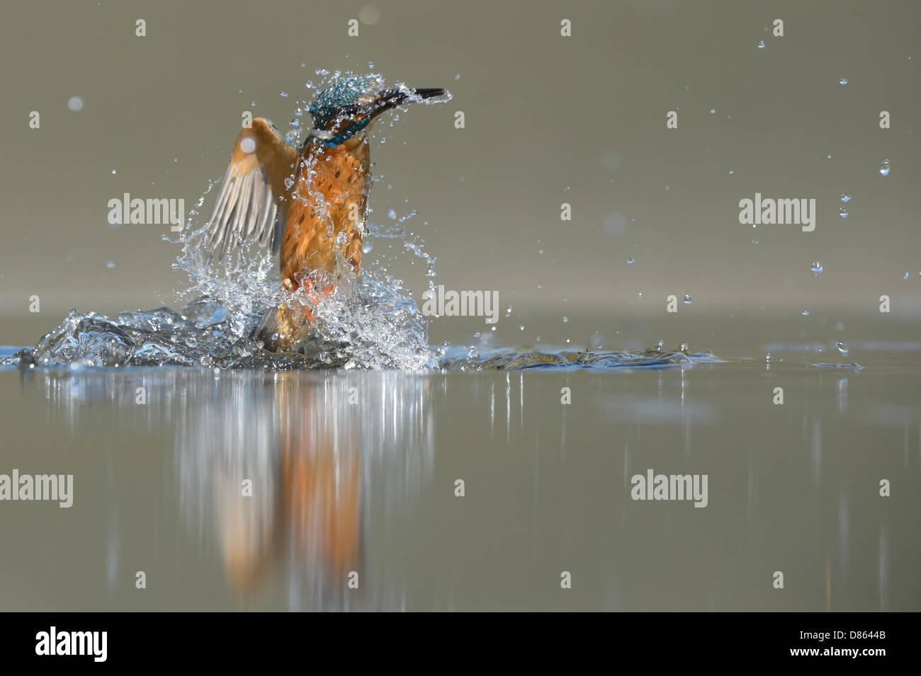 Tauchen Eisvogel Stockbild