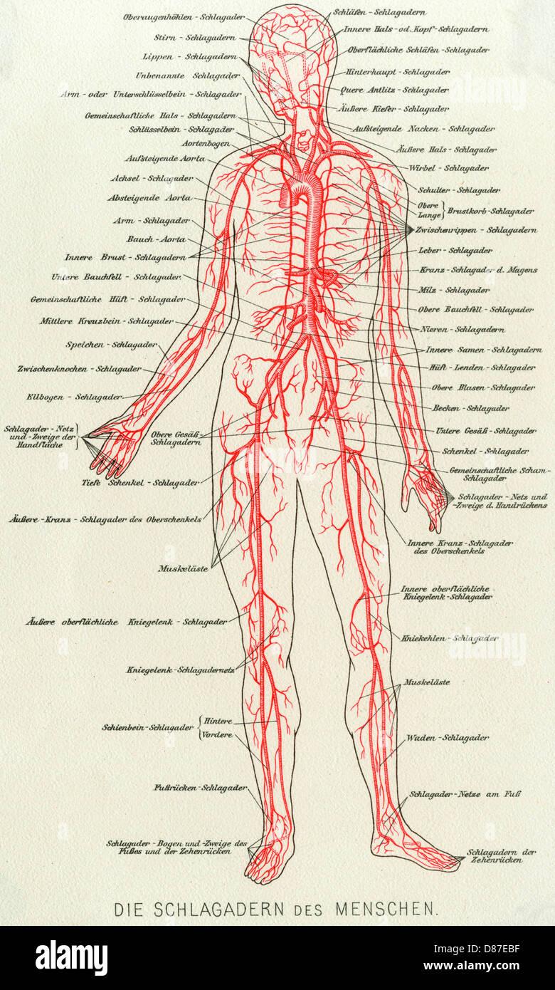 Medizinische Anatomie Blut Stockfoto, Bild: 56713315 - Alamy