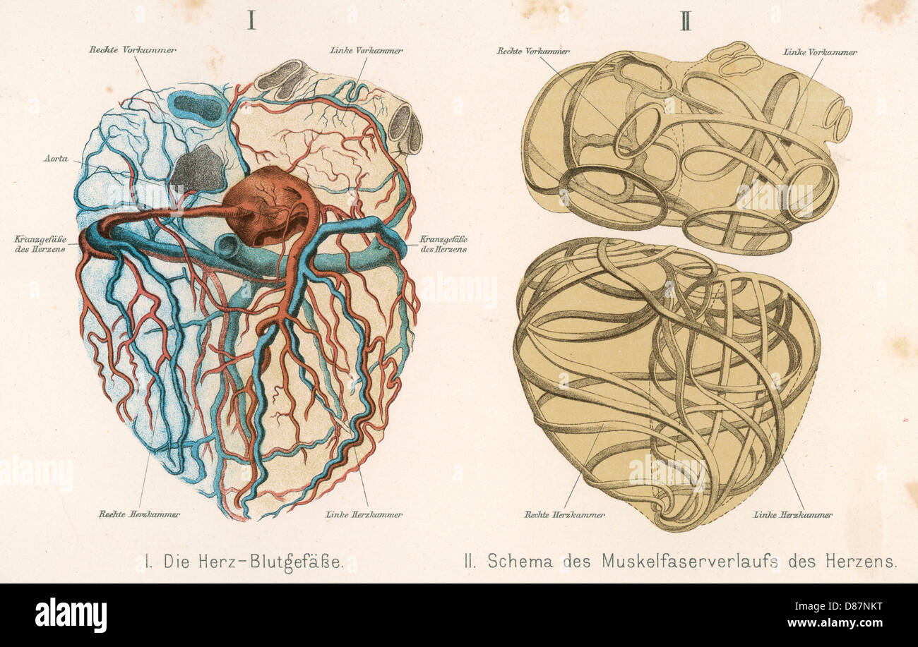 Herz Venen Arterien Stockfoto, Bild: 56719036 - Alamy