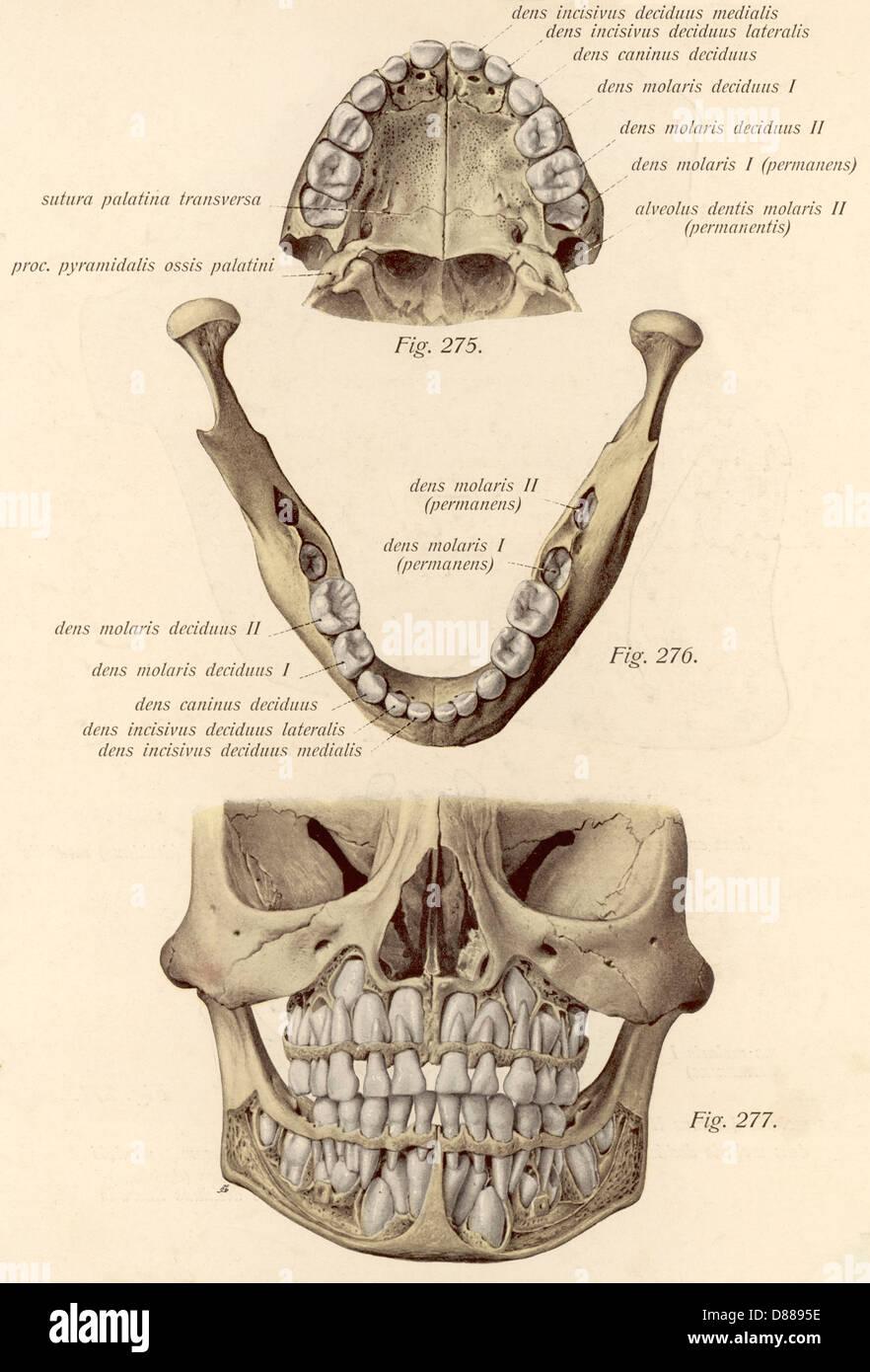 Gemütlich Schafe Zähne Anatomie Galerie - Anatomie Ideen - finotti.info