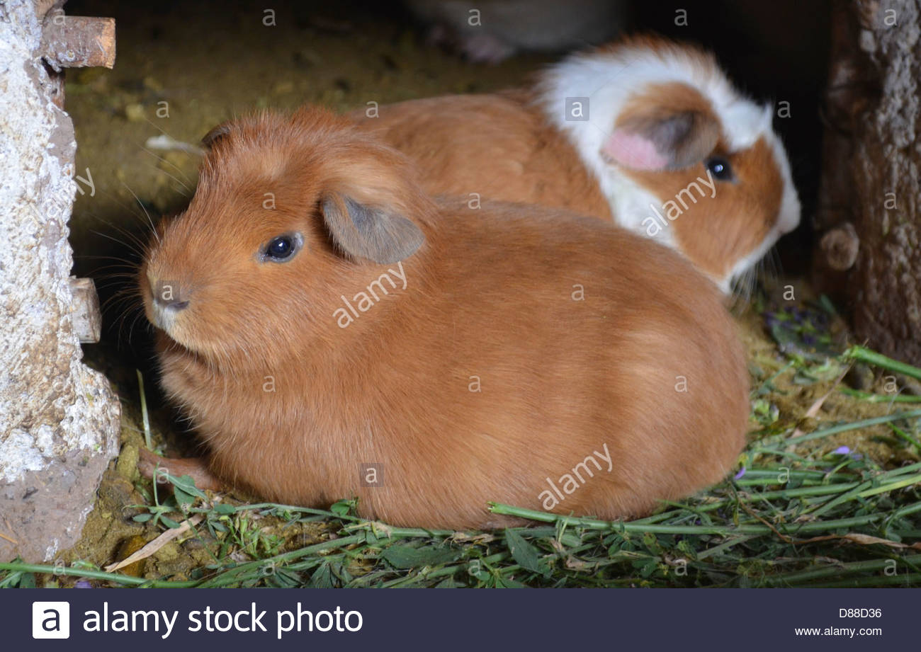 zwei meerschweinchen stockfoto bild 56734250 alamy. Black Bedroom Furniture Sets. Home Design Ideas