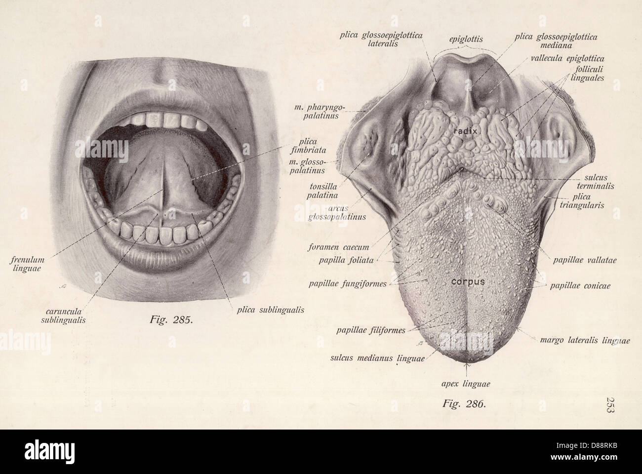 Anatomie Kopf Zunge Stockfoto, Bild: 56742543 - Alamy
