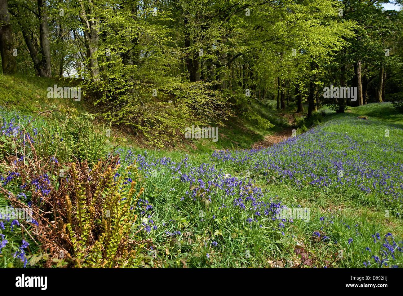 Glockenblumen blühen im Blackbury Camp, ein Devon Eisenzeit Fort, mit Buche und Eiche Bäume in junges Stockbild