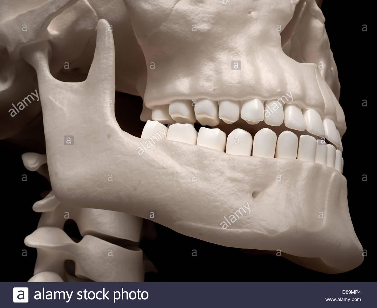 Digitale medizinische Illustration: close-up der menschliche Kiefer ...