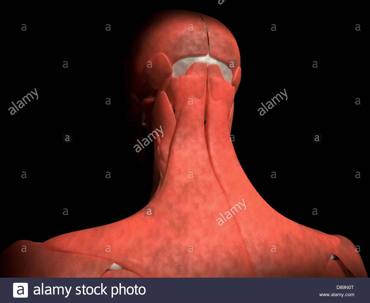 Digitale medizinische Illustration: Posterior (hinten) Blick auf ...