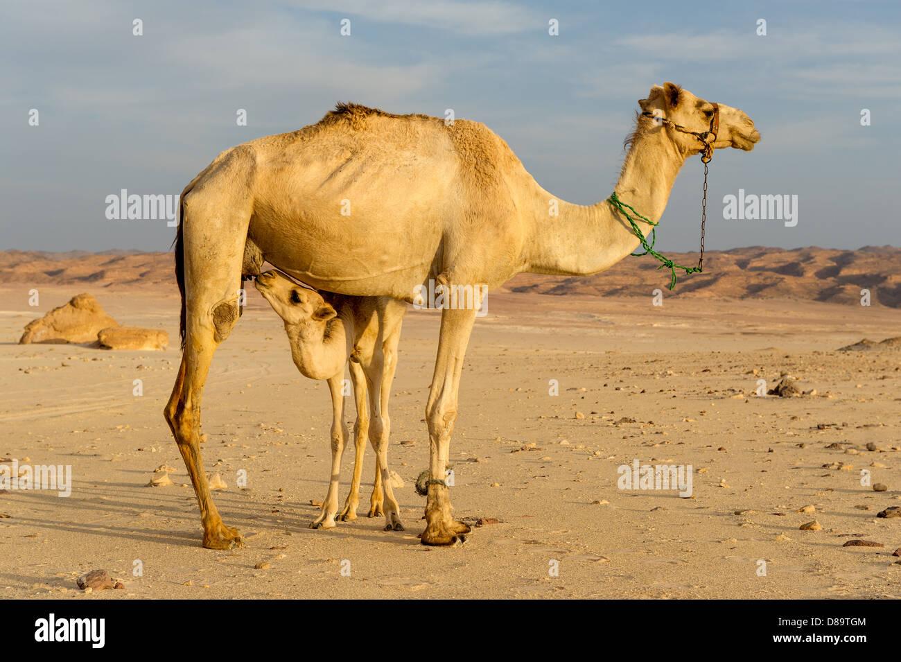 72563b7bd831 Neugeborenes Kamel Stockfotos & Neugeborenes Kamel Bilder - Alamy