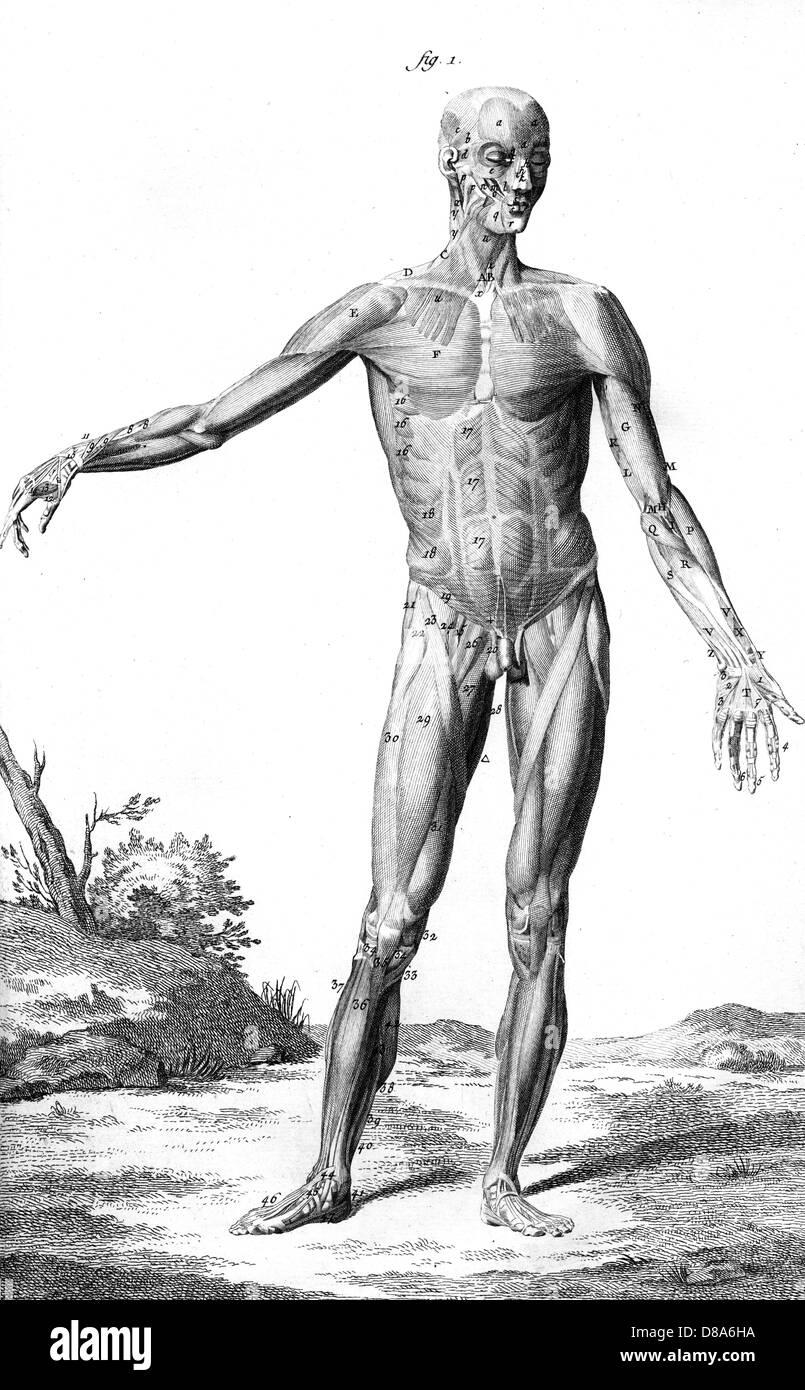Berühmt Muskeln Des Gesäßes Anatomie Fotos - Physiologie Von ...
