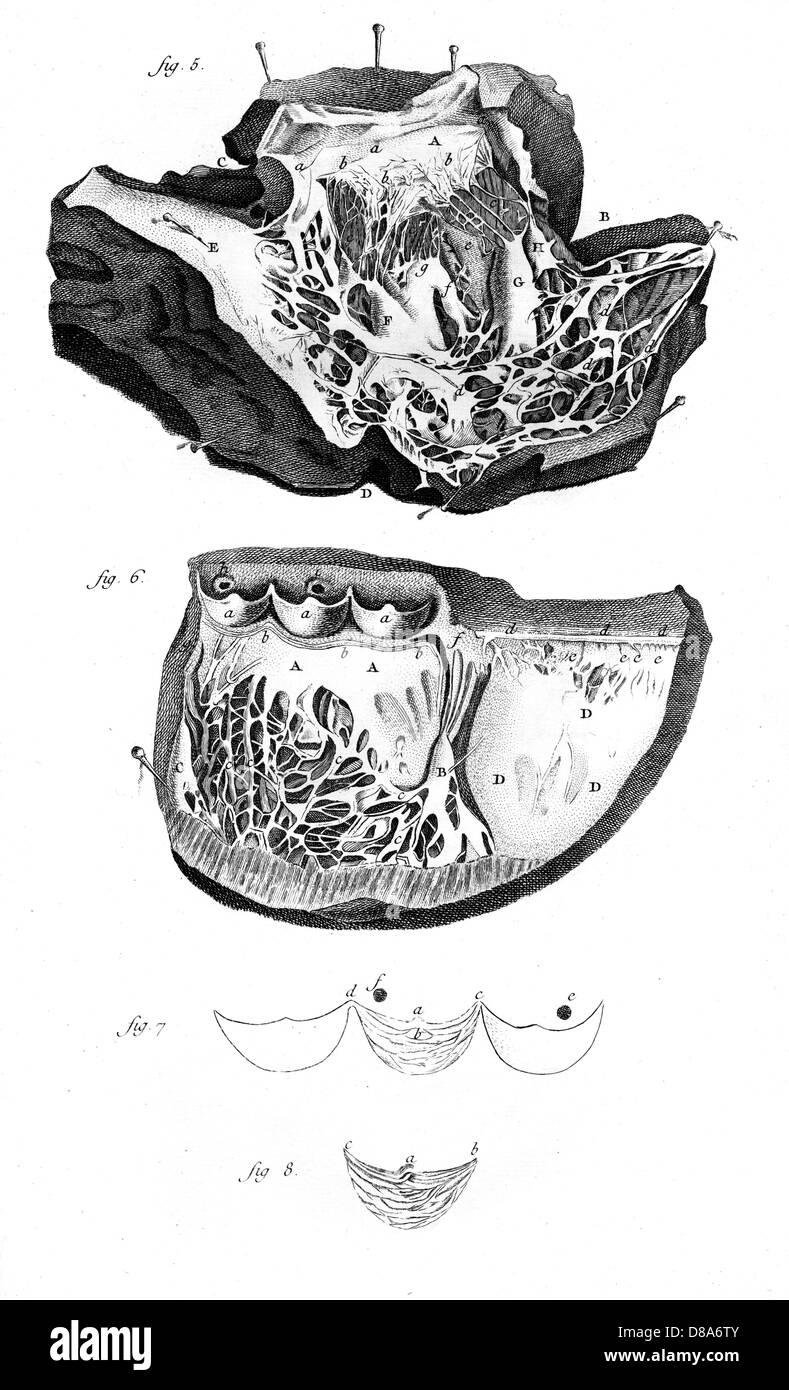 Beste Anatomie Des Herzens In Hindi Fotos - Anatomie Ideen - finotti ...