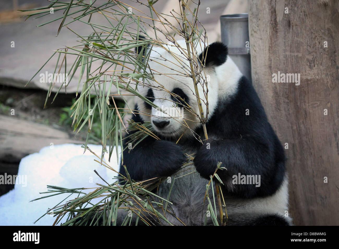 Ein großer Panda, abgebildet im Zoo von Chiang Mai, Thailand. Foto: Fredrik von Erichsen Stockfoto
