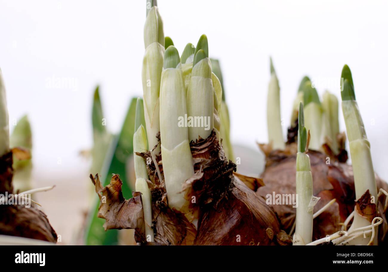 Hyacinthus ist eine kleine Gattung der bauchige blühende Pflanzen in der Familie Asparagaceae, Unterfamilie Stockbild