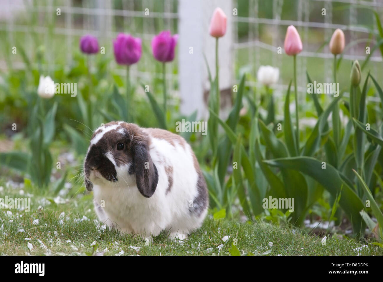 holland lop kaninchen drau en im garten stockfoto bild. Black Bedroom Furniture Sets. Home Design Ideas