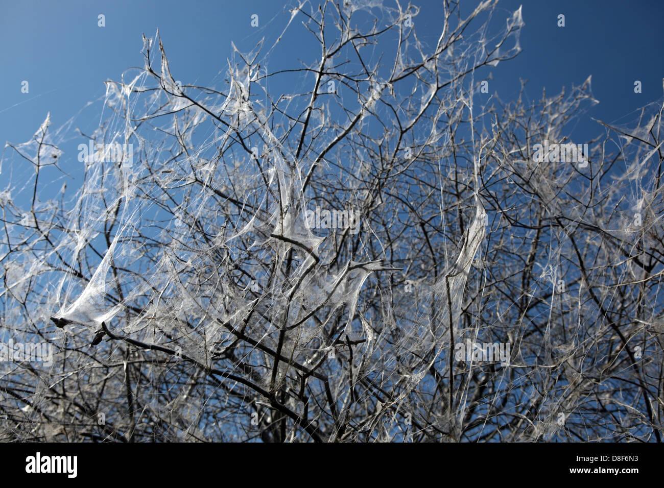 Görlsdorf, Deutschland, Webbed der Gespinstmotte Baumkrone Stockbild
