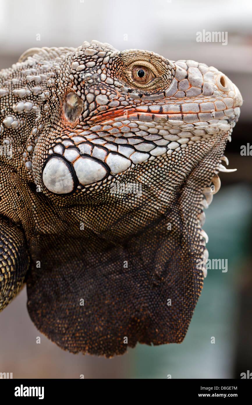 Eine Nahaufnahme Bild von einem Leguan.  Allgemein bekannt als grüner Leguan, Art: Iguana Iguana.  Oranjestad, Stockbild