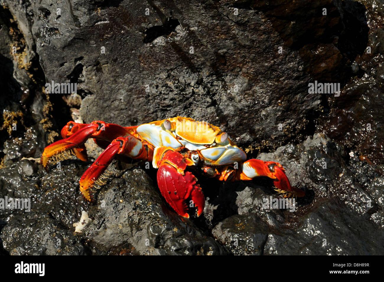 rote Krabbe clip Stockbild