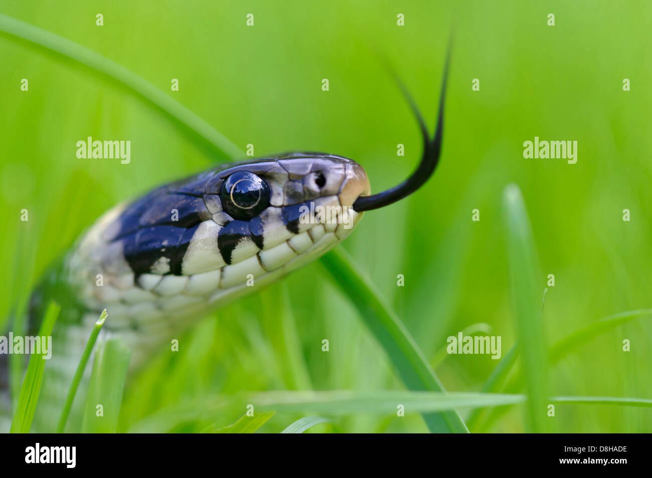 Grass Snake, Natrix Natrix, Goldenstedter Moor, Niedersachsen, Deutschland Stockbild