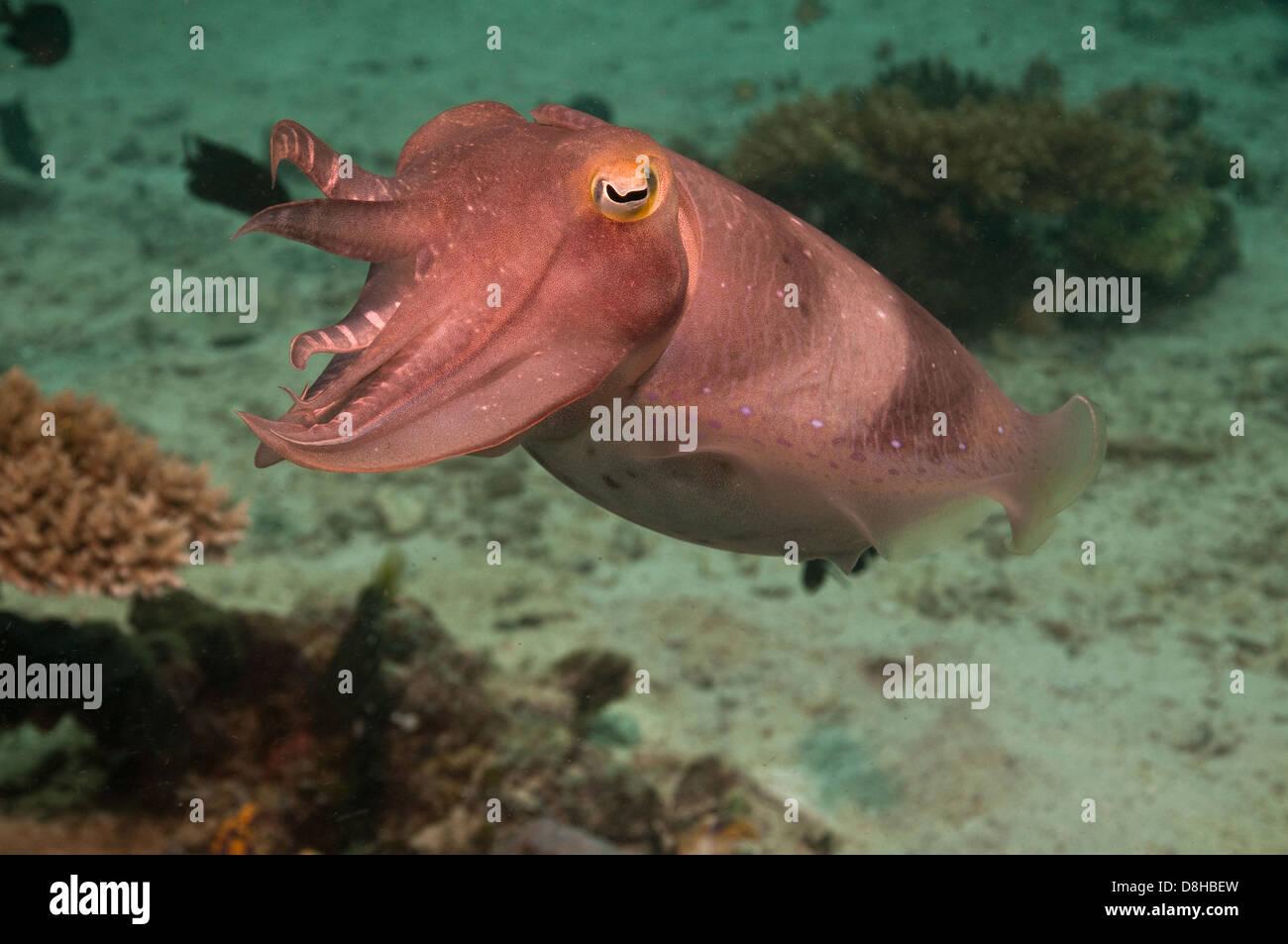 Tintenfisch Stockbild