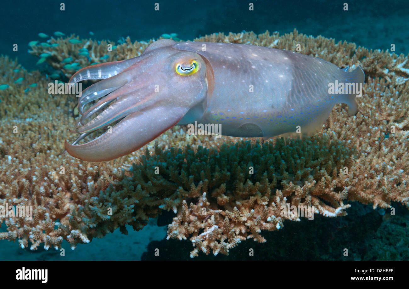 Sepia und Tabelle Korallen Stockbild
