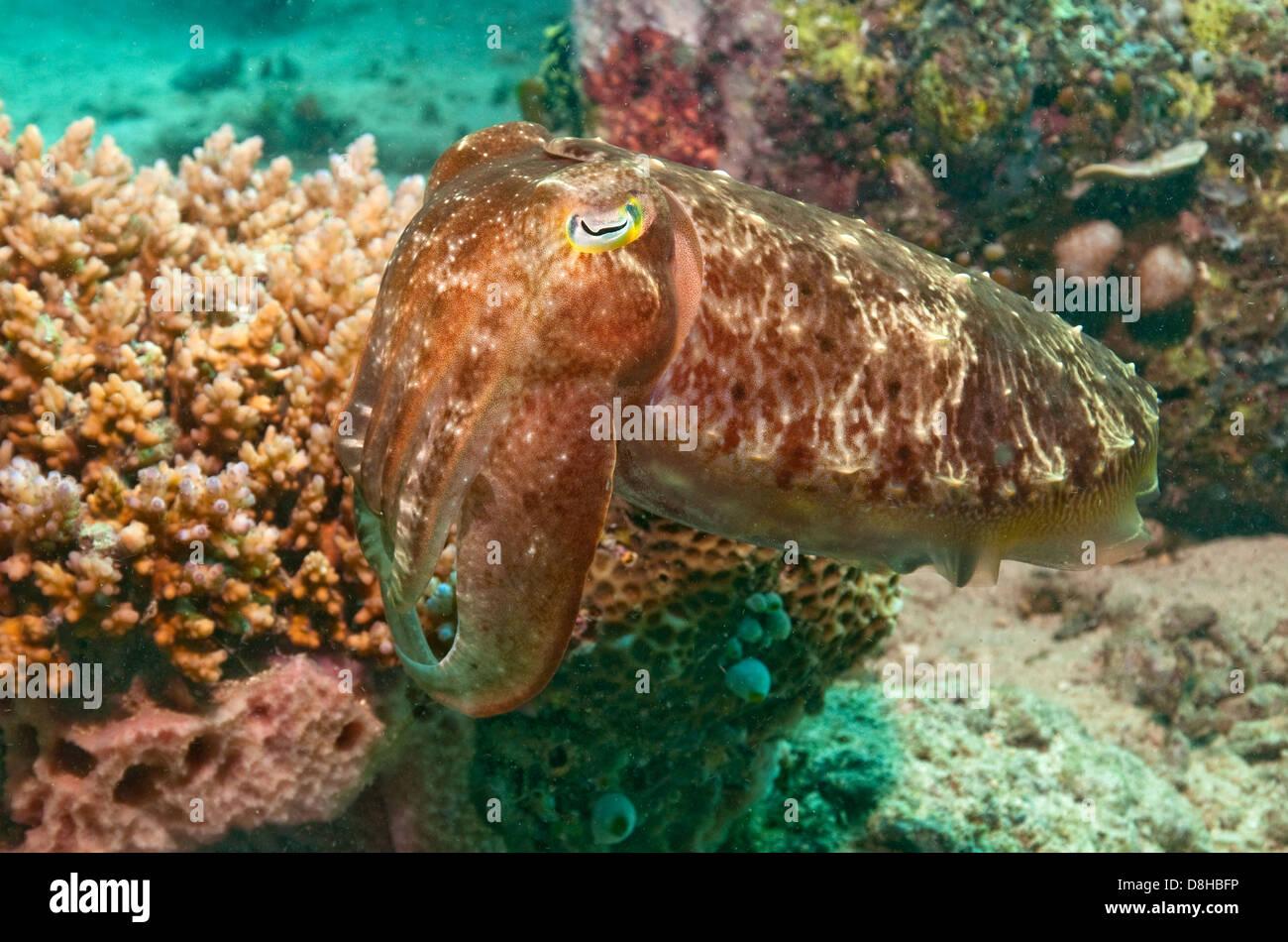 Sepia im Korallenriff Stockbild