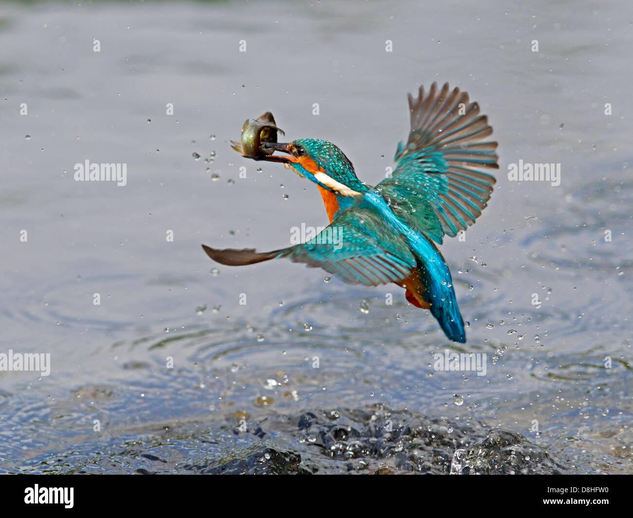 männlicher fisch