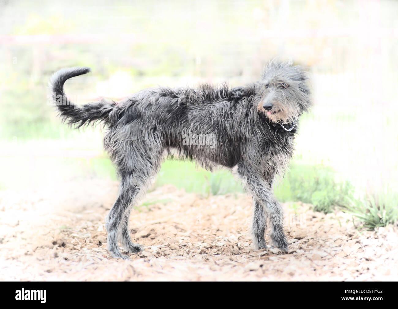 Lurcher Hunde Stockbild