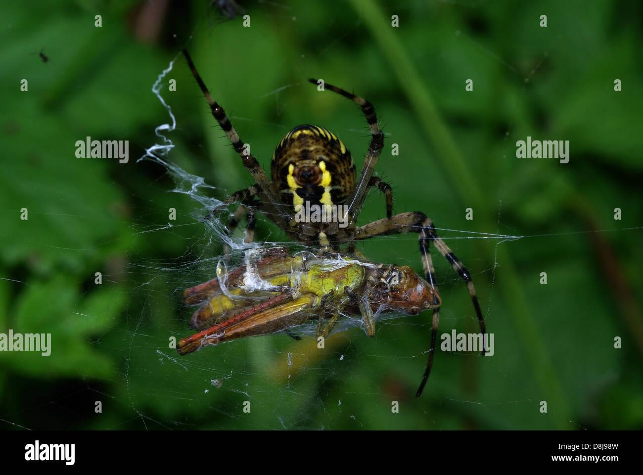 Wasp Spider mit Schwimmhäuten Beute Stockbild