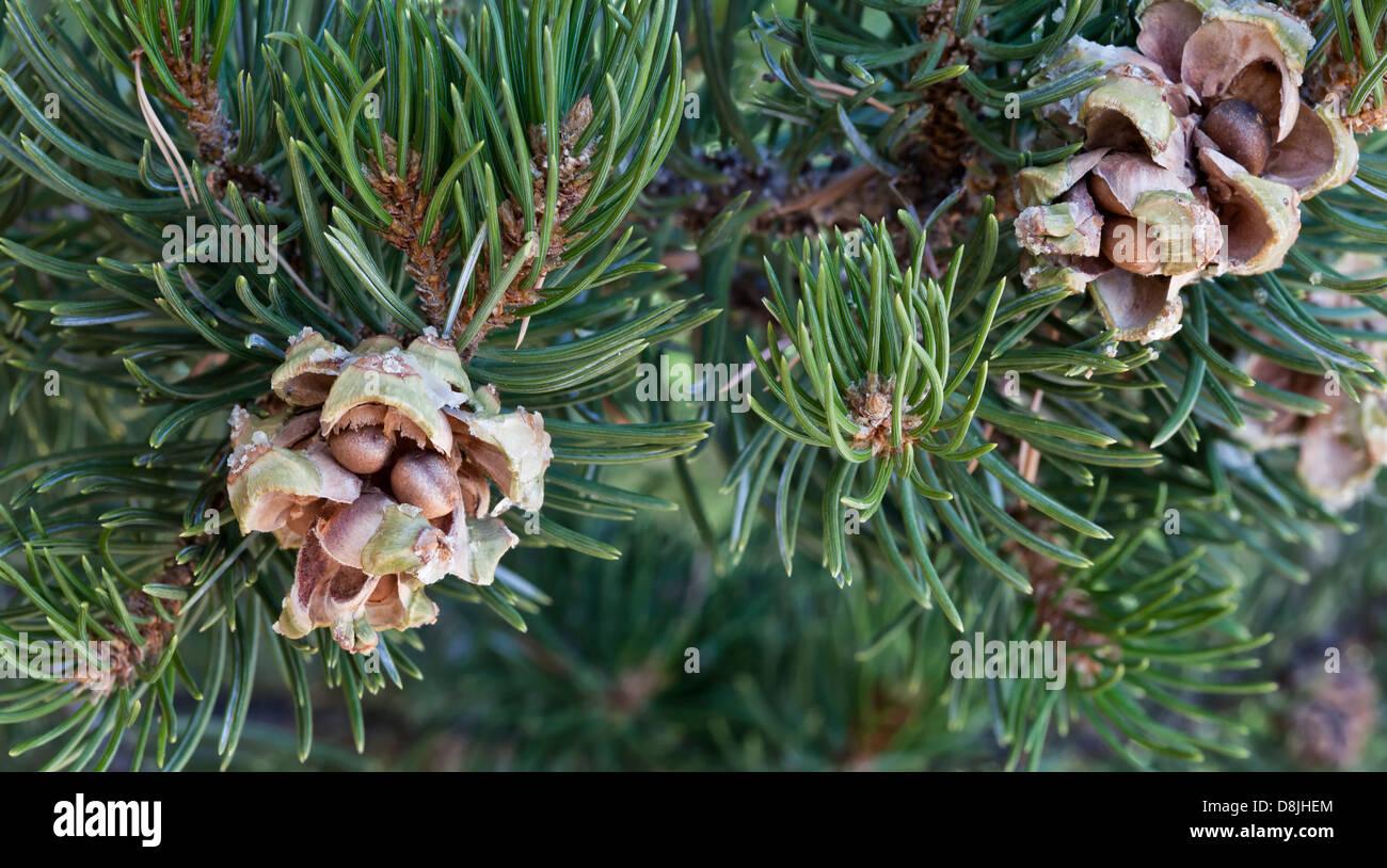 Pinyon Tannenzapfen mit Nüssen, verzweigen. Stockbild
