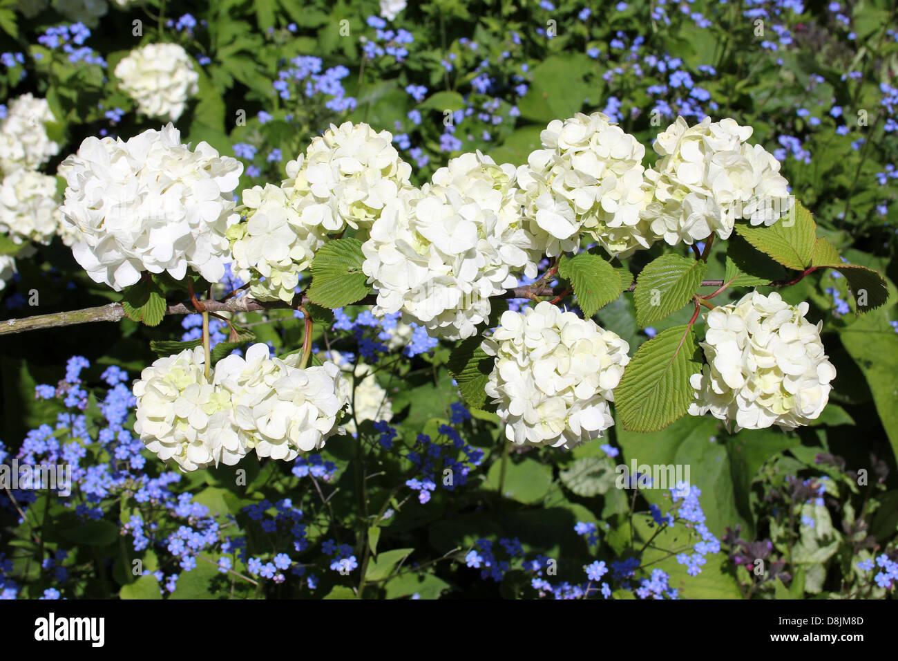 viburnum plicatum stockfotos viburnum plicatum bilder alamy. Black Bedroom Furniture Sets. Home Design Ideas