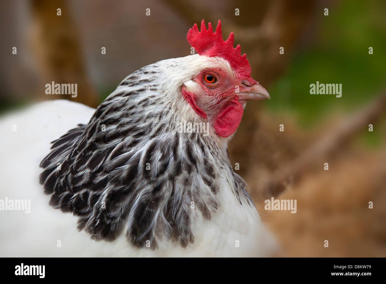 Leichte Sussex Hühner seltene Rasse Stockbild