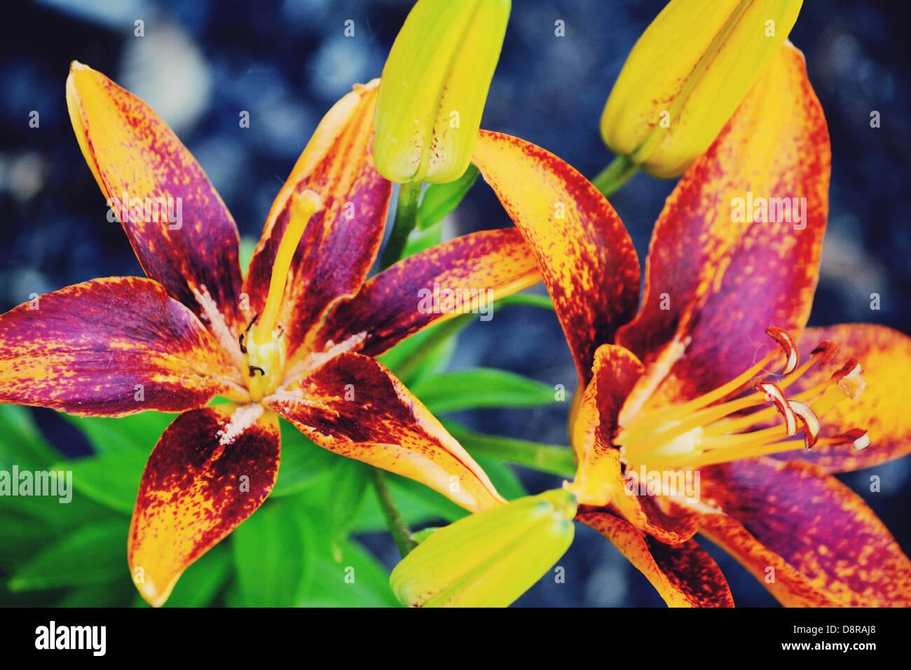 Frühling-Lilien blühen in Ohio Stockbild