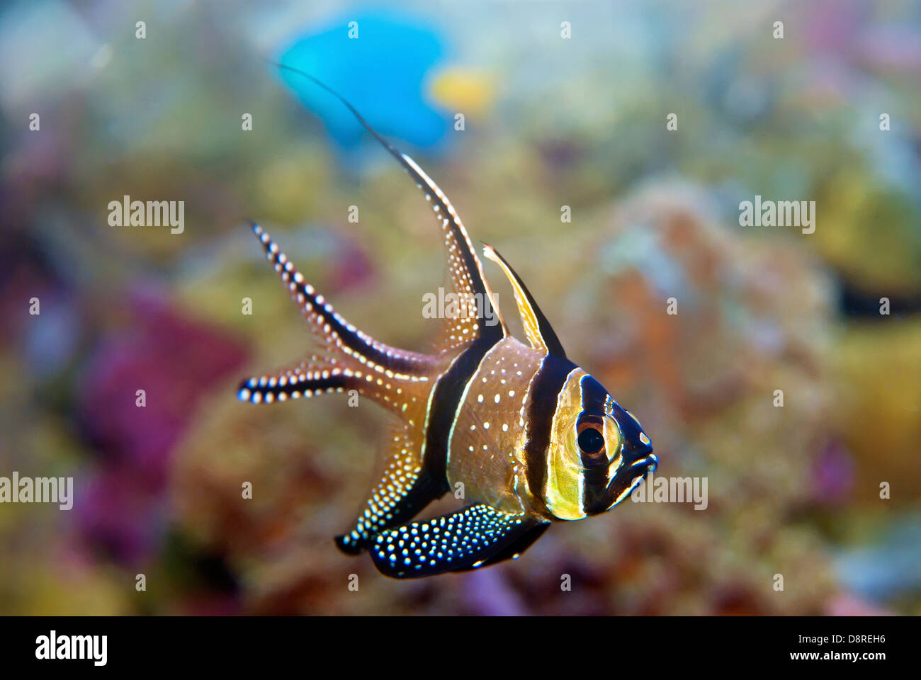 Bewohner tropischer Rifffische Stockbild