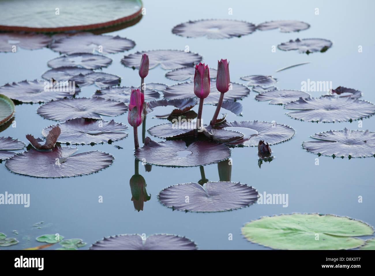Entspannende Bild Seerosen in blühen in den ruhigen Gewässern des Teiches. Stockbild