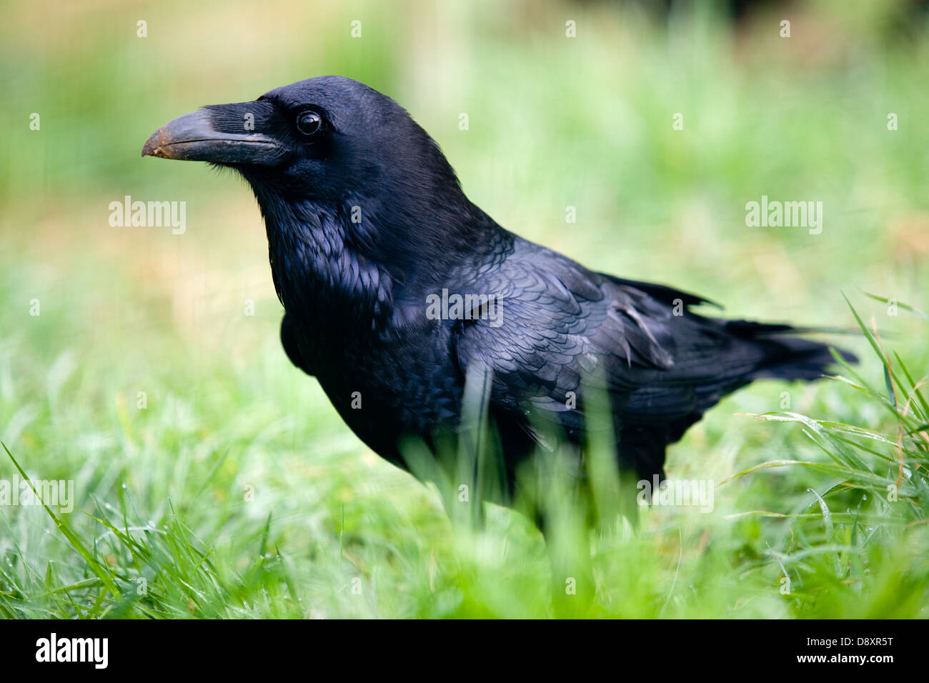 Rabe (Corvus Corax) im Grünland. Stockbild