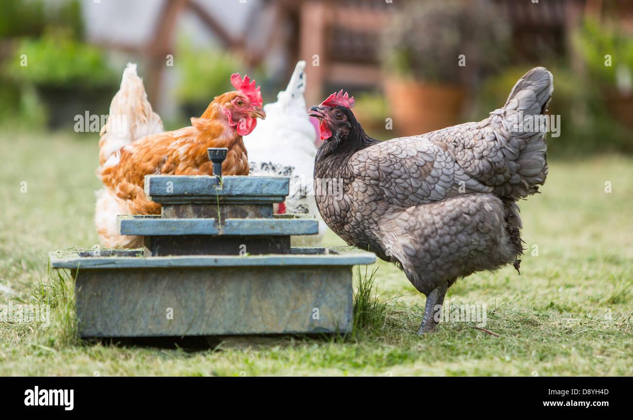Hell blau, Sussex und Warren Brown Rassen Huhn aus einem Brunnen im Garten zu trinken. Stockbild