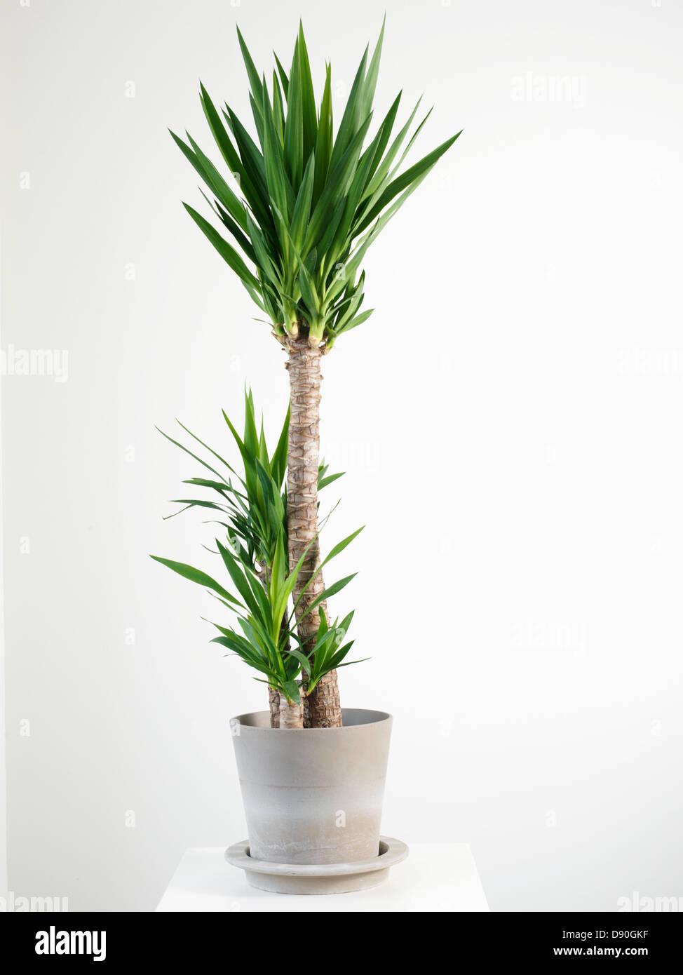 potted palm stockfotos potted palm bilder alamy. Black Bedroom Furniture Sets. Home Design Ideas