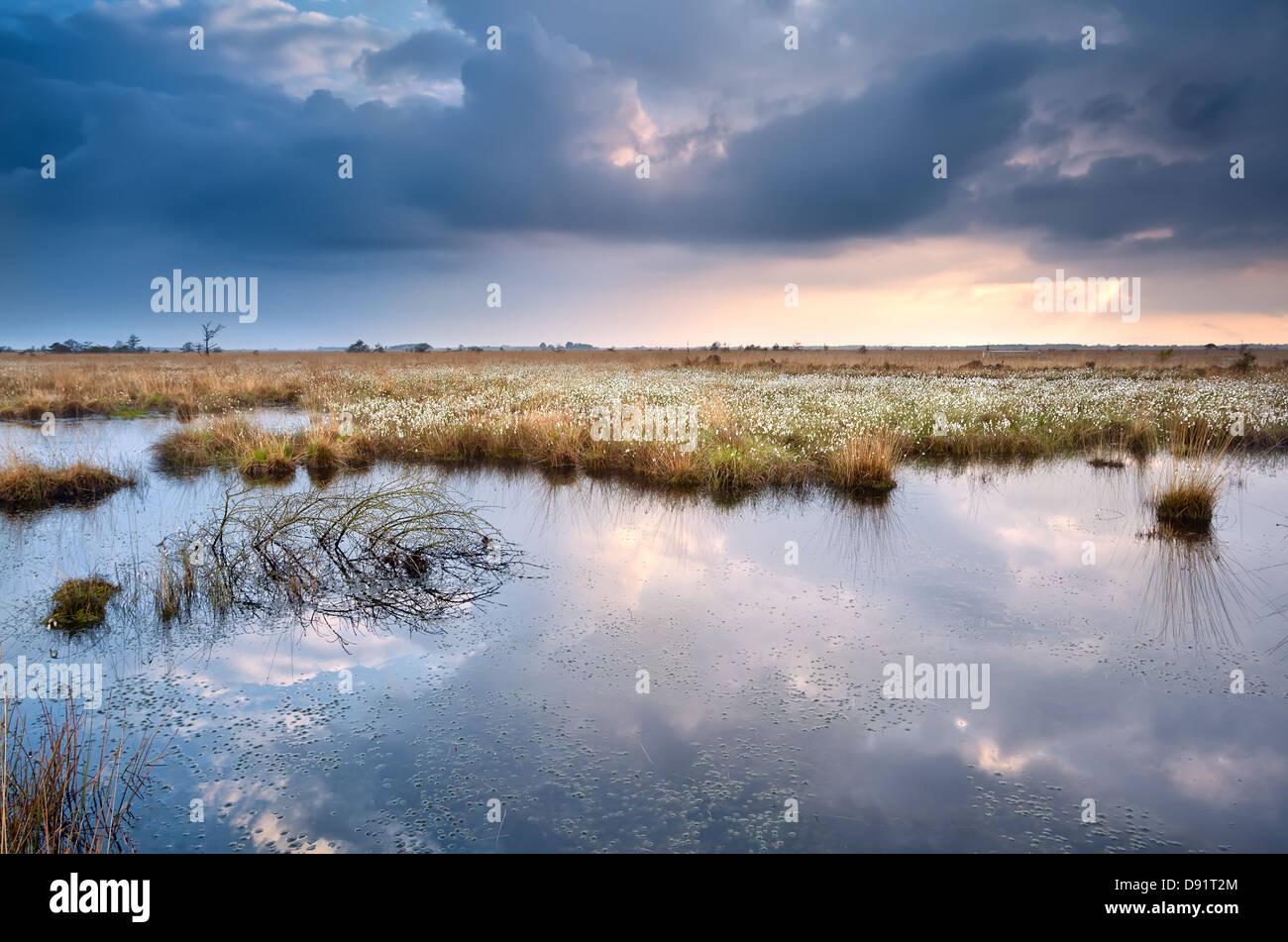 Sumpf mit Cottograss mit reflektierte Himmel vor Sonnenuntergang Stockbild