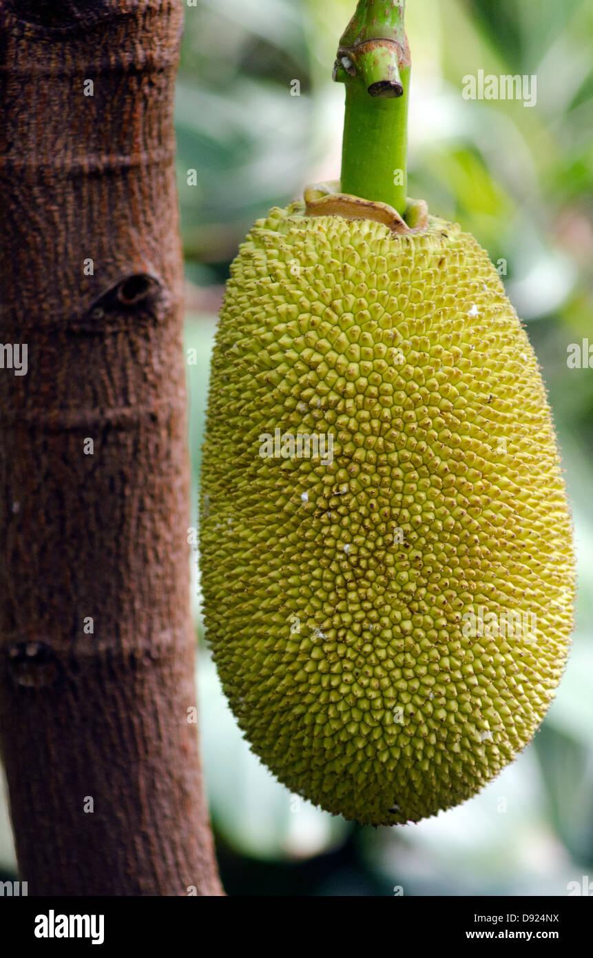 Brotfrucht wachsen auf einem Baum. Stockbild