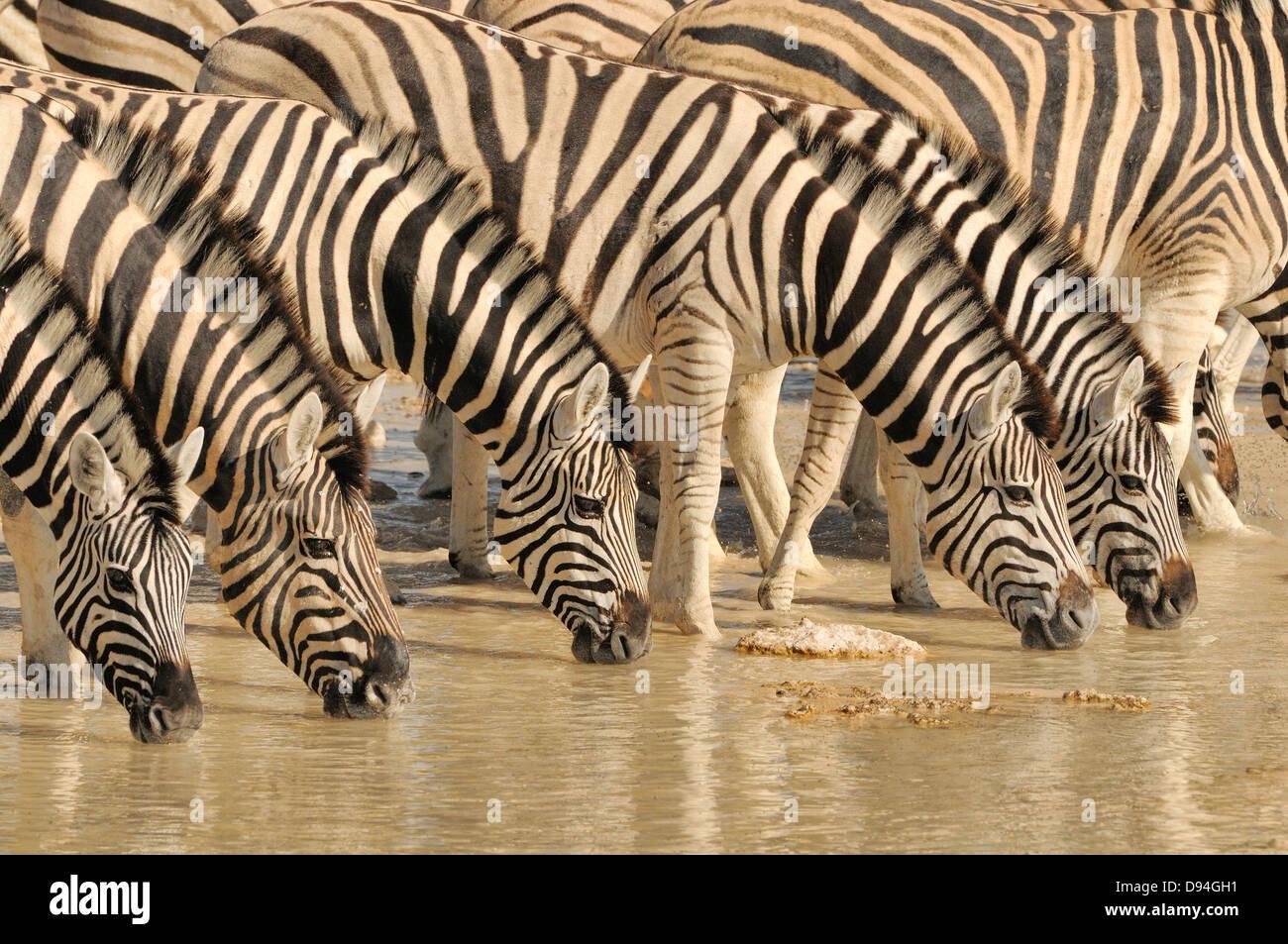 Burchell Zebra Equus Quagga Burchellii fotografiert trinken am Wasserloch im Etosha Nationalpark, Namibia Stockbild