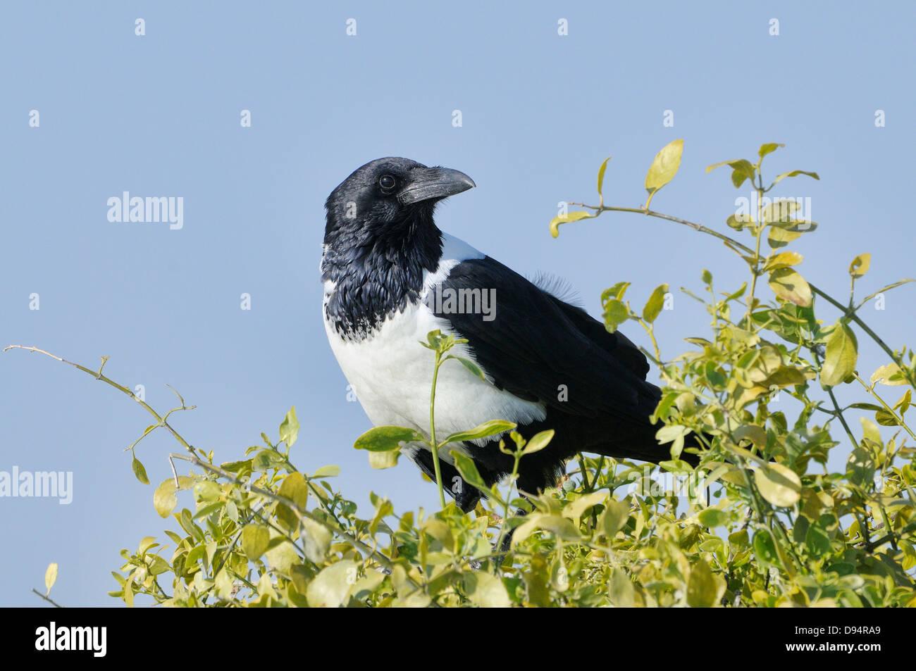 Pied Crow Corvus Albus fotografiert im Etosha Nationalpark, Namibia Stockbild