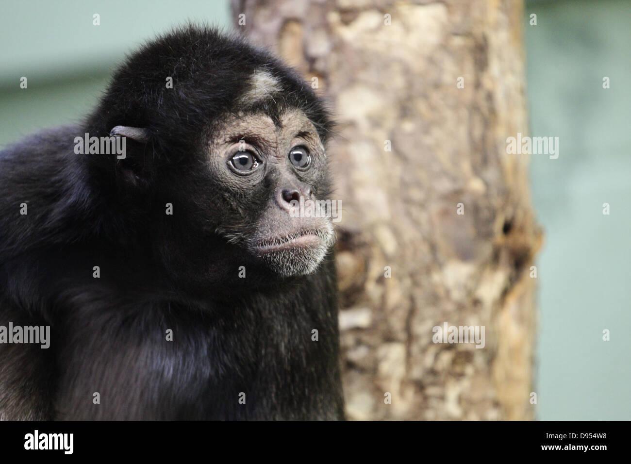 Affe im Zoo von Bristol. Stockbild