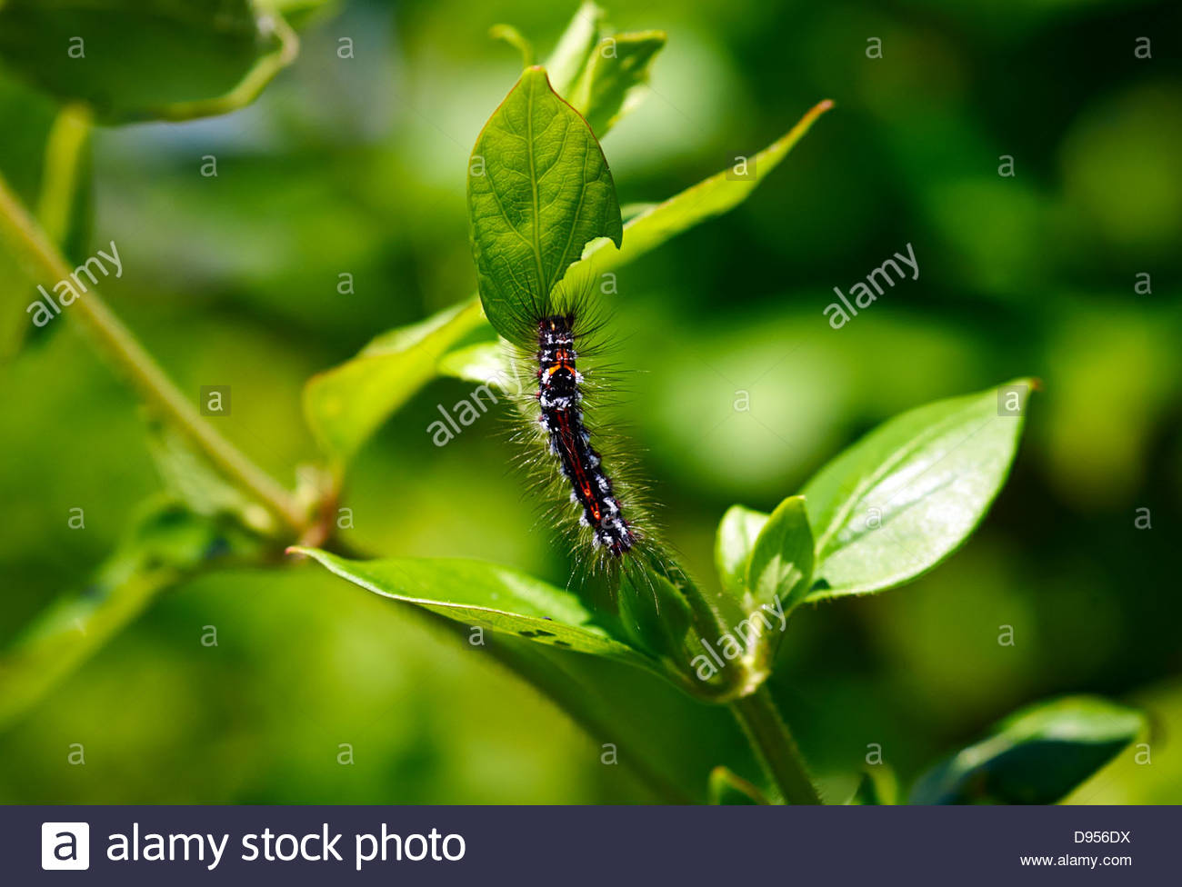 yellow Tail Motte Euproctis Similis Raupe Essen Geißblatt lässt Stockbild