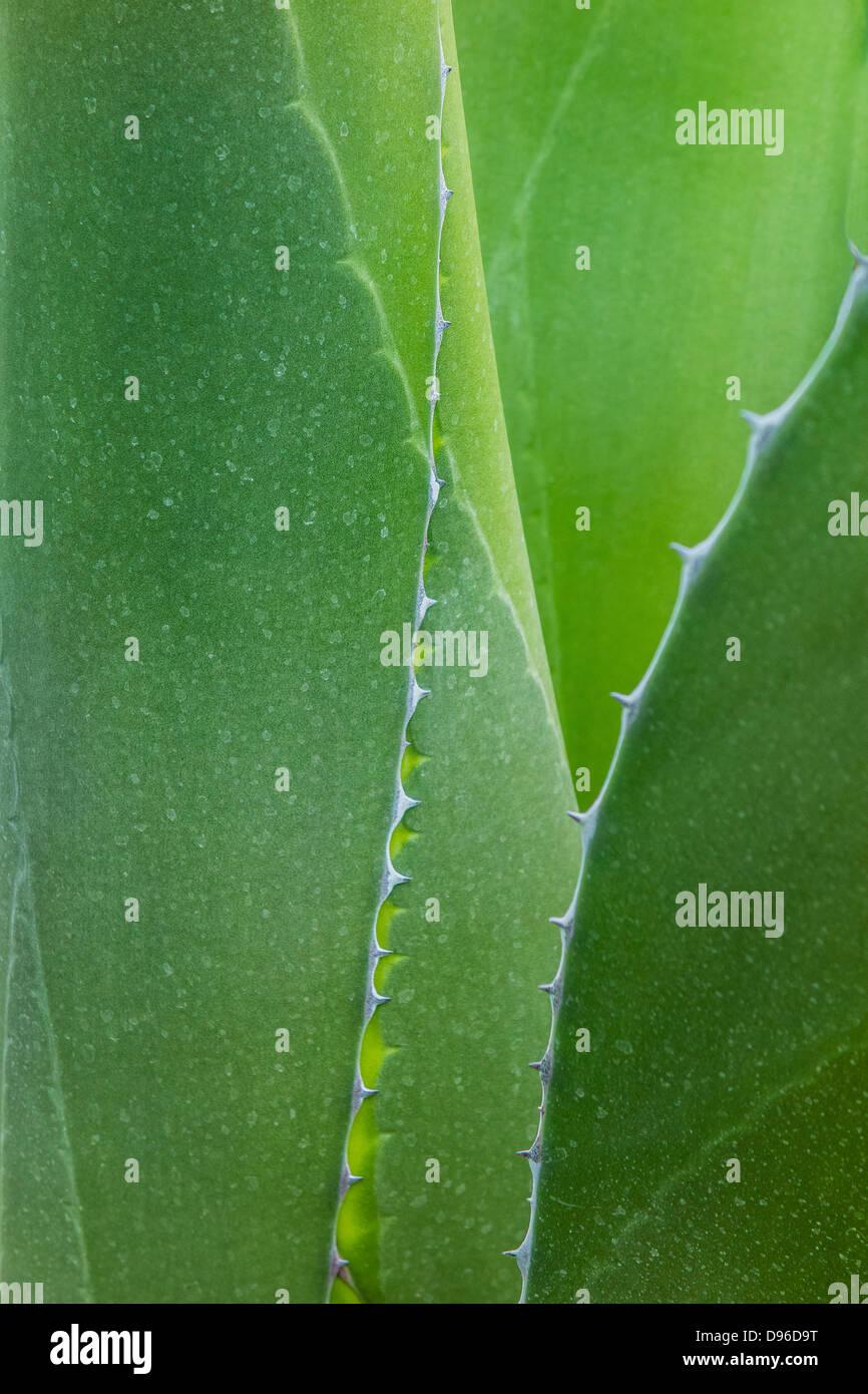 Nahaufnahme Der Agave Pflanze Mit Dornen An Den Rändern Des Dicken