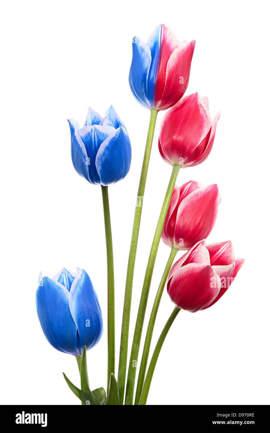 Blumenstrauß als einer Hollands Fahne oder Flagge von Russland. Rosa und blaue Tulpen isoliert auf weiss Stockfoto