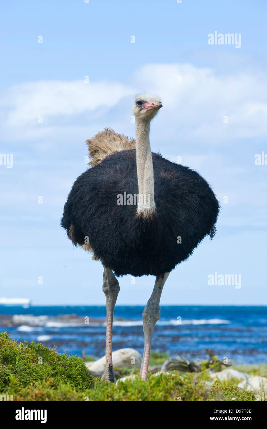 Männliche Strauß (Struthio Camelus), Kap der guten Hoffnung, Western Cape, Südafrika Stockbild