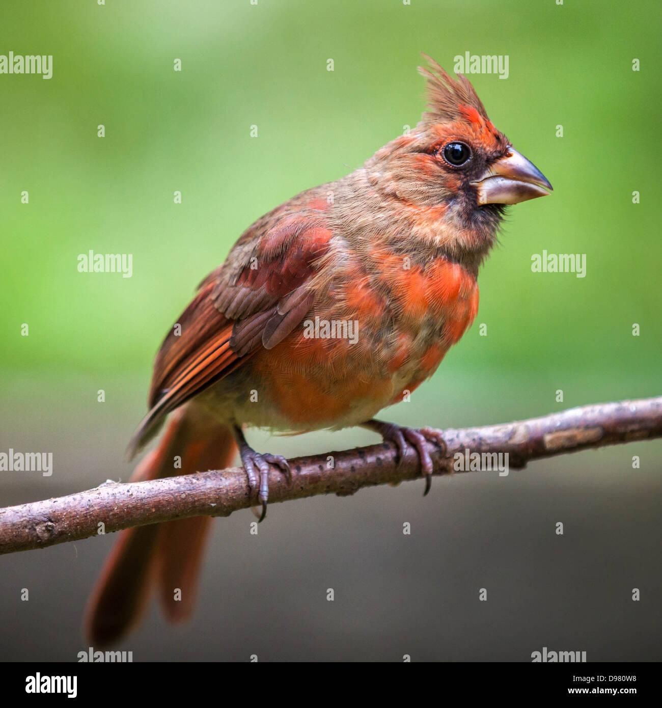 Weibliche Northern Cardinal, thront auf einem Ast vor einem grünen Hintergrund Stockbild