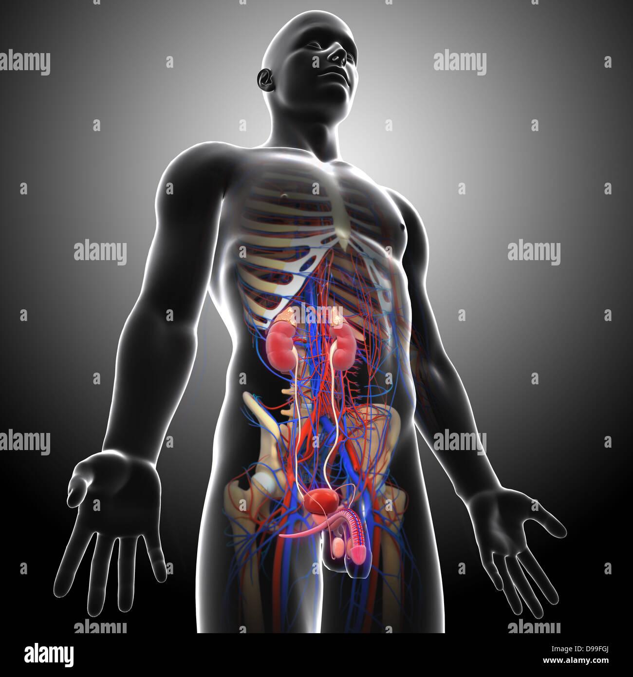 Großzügig Harn Anatomie Fotos - Anatomie Und Physiologie Knochen ...